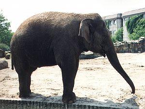 Elefant - 800 x 600 - 69kB