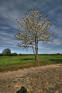 Kirschblüte - 800 x 1200 - 455kB